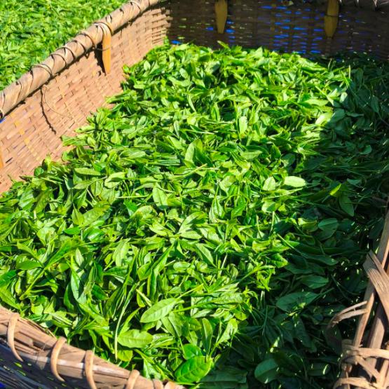 萎凋煎茶の生葉