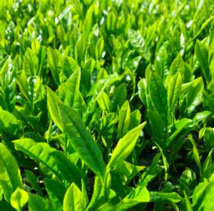 2021年の茶畑